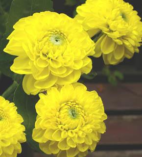 <h2><br/>まばゆいばかりのレモンイエローのダリア。組み合わせ方によって、ドレスにも、和装にも似合うブーケができます。とても目を引く大輪のお花です。</h2>