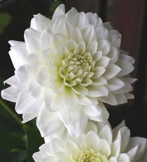 <h2><br/>スノーホワイトの大輪花は、近年大変人気の高いウエディングフラワーのひとつです。主張しすぎないお花と組み合わせて、この美しさを際立たせたい花材です。</h2>