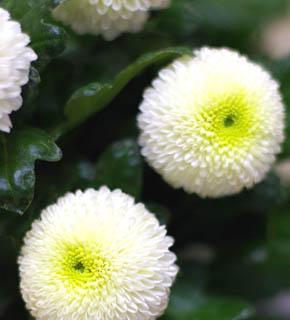 <h2><br/>ピンポン球のように丸い形がユニークなお花。白の他には、グリーン、ブロンズ、ピンクなど種類は多い。ラウンドブーケにとくにおすすめです。</h2>