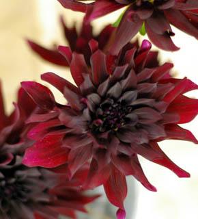 <h2><br/>ボルドー色の大輪ダリア。花芯が黒に近いため、黒蝶の名があります。どんな花にもひけをとらない華やかさがあります。秋の花材ですが、ウエディングシーンでの需要から一年を通して入荷いたします。</h2>