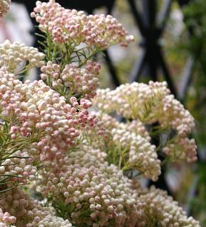 <h2><br/>ネーミング通りのお米のようなお花がウエディングシーンで人気です。白・ピンクがあり、他の花をとても引き立てくれます。秋から冬の花材です。</h2>