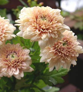 <h2><br/>テンダーピンクの大輪マム。洋花と合わせればドレスに似合うブーケになり、大きな葉ものと合わせれば斬新なデザインブーケになります。</h2>