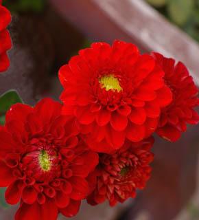 <h2><br/>丸いフォルムと苺のように愛らしい朱赤色の小輪種。バラのブーケとは異なった趣を好む方におすすめ。ドレスには愛らしく、和装にはきりっと。</h2>