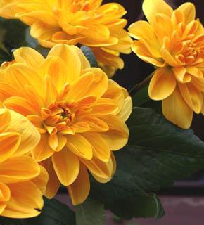 <h2><br/>目の覚めるようなオレンジ色の中輪ダリア。色・かたちとも主役級の華やかさ。ドレスにも和装にも仕立てられるお花です。</h2>