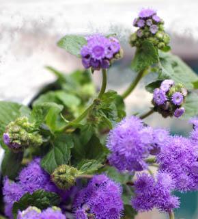 <h2><br/>紫・青色の小さな花が集まって咲きます。脇役的存在ですが、青いお花が希少なため 重宝な花材です。アイボリー系やピンク系とよく合います。</h2>
