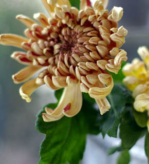 <h2><br/>ヨーロッパで近年、品種改良されたココア色の大輪菊。バラなどの洋花と組み合わせると個性的でオーセンティックな雰囲気を作ります。</h2>
