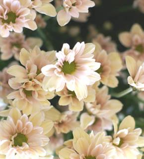 <h2><br/>シュガーピンクのやさしい色、可憐な花型はロマンティックで可愛らしい雰囲気をかもしだしてくれます。ブーケにもアレンジにもおすすめです。</h2>