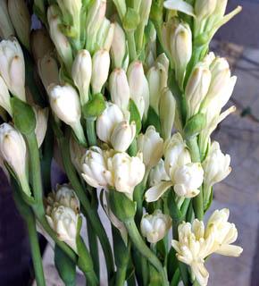 <h2><br/>この上なく甘い香りを放つ花は香料の原料にもなります。夏の終わりから冬にかけて出荷。チューベローズの香りでウェルカムとしゃれこんでみては・・。</h2>