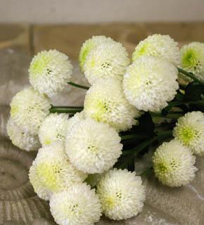 <h2><br/>ころころとした丸い形は、菊のイメージを払拭。とくに海外での人気が先行した お花です。丸い花形をより強調するラウンドブーケにおすすめです。</h2>