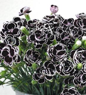 <h2><br/>黒に白いふちどりの小輪カーネーション。アイボリーやシュガーピンクと合わせると意外な可愛らしさがでます。</h2>