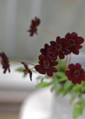 <h2><br/>黒という色にもかかわらず、小さな蝶が舞うような可愛らしさがあるのは柔らかい曲線とその花の形によるものでしょう。人気のお花です。</h2>