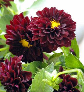 <h2><br/>花径6~7cm程度の小ぶりの品種。エンジ色を濃くした花の色は、シックブーケの主役。バラなどの洋風のお花との組み合わせましょう。ドレスにも和装にもお似合いになります。</h2>