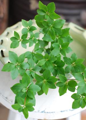 <h2><br/>ツツジという名前がついていますが、一般のツツジとはまったく異なります。葉の形が美しく、和装ブーケによく似合います。</h2>