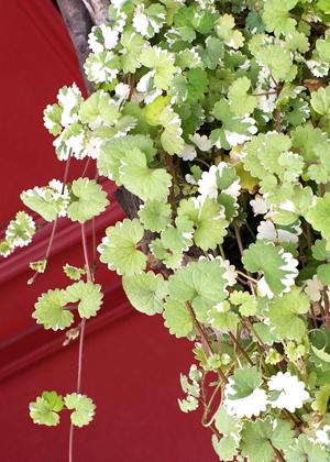<h2><br/>爽やかなグリーンに白いふちどりの斑入りがとってもキュート。水あげもよく、長持ちします。</h2>