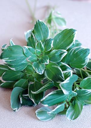 <h2><br/>アルストロメリアの一種。爽やかな色のグリーンなので、白いお花と組み合わせ、清楚なウェディングブーケに仕上げます。</h2>