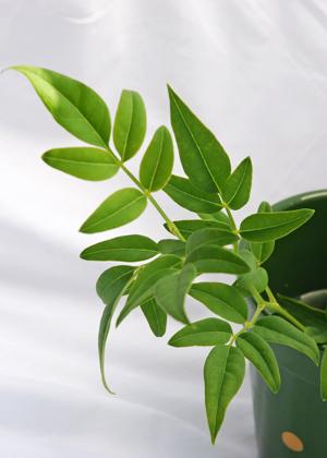 <h2><br/>ジャスミンの仲間で、きれいな緑色の葉。すっきりとした形をいかし、さわやかな仕上がりになります。</h2>