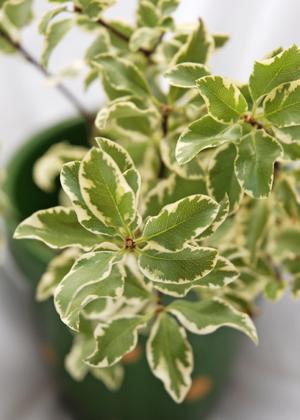<h2><br/>白い縁取りのあるやわらかい感じの葉。ブーケやアレンジに合わせるとやさしいイメージになります。</h2>