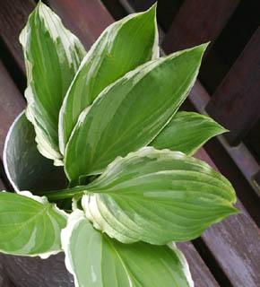 <h2><br/>あざやかなグリーンに白い縁取りが、夏らしくさわやかな葉ものです。春から夏にかけて出回る花材。ブーケの添えにどうぞ。</h2>
