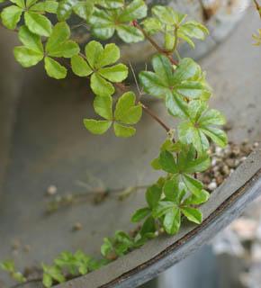 <h2><br/>5枚の小さな葉がつる状につらなった愛らしいグリーン。ラウンドブーケに動きをつけたりキャスケードの下垂するグリーンとして、最近人気の花材です。</h2>