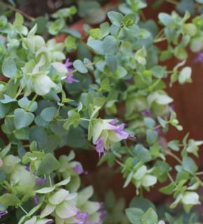 <h2><br/>春から夏に美しくなるハーブです。やさしく繊細なイメージをいかして、軽やかなブーケ やアレンジの仕上げにおすすめしたい花材です。</h2>