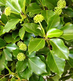 <h2><br/>光沢のある濃い緑色の葉物。夏には、花つきのものも見られますが、秋から冬にかけては葉だけとなります。しっかりとした印象の仕上がりに。</h2>