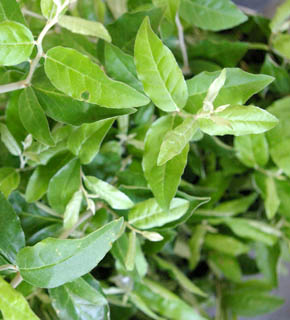 <h2><br/>うっすらとシルバーがかった緑色、やさしいイメージの花材です。夏に多く出荷される葉物で、つるを生かしたアレンジもおすすめです。</h2>