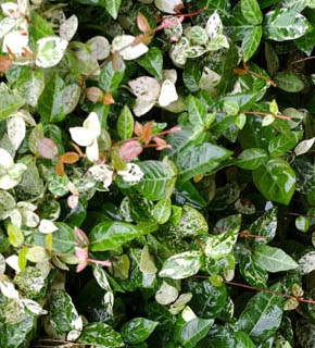 <h2><br/>深い緑色、白、ピンクと複数の色を持つ葉物。花の色を選ばず、幅広い組合せのできるグリーン。つるを生かして、線として使いたい花材です。</h2>