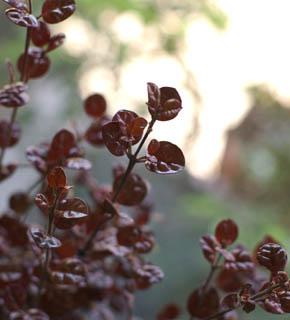 <h2><br/>多くの葉物の中では、珍しい栗色。この葉との組み合わせによって全体の色調はぐっとシックになります。ピンクや茶系の花にとくに合います。</h2>