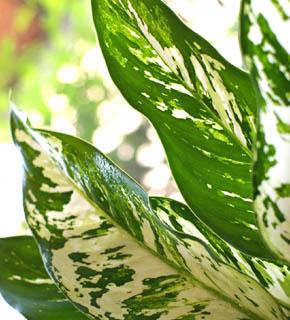 <h2><br/>白く美しい斑の入った、大きな葉。シンプルに束ねるブーケなどの添えに向きます。出荷量は少ない葉物となっています。</h2>