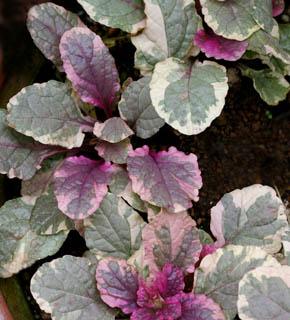 <h2><br/>シルバーがかったグリーンにアイボリー・アメジスト色の入った複色の葉。ピンクや紫色との相性は抜群です。希少な葉物となります。</h2>