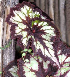 <h2><br/>色・形ともに個性の強い葉物。個性的な花との組合せによって、かなり印象の強いブーケやアレンジを可能にします。斬新さを求める方に・・・。</h2>