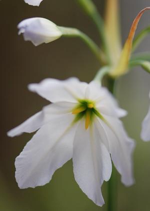 <h2><br/>甘い香りを放つ透き通った艶のある花を次々と咲かせます。ブーケにさりげなく添えると可憐なイメージに仕上がります。</h2>