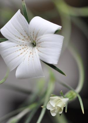 <h2><br/>茎のラインがとってもかわいいシンプルで可憐なお花です。ブーケに入れるとふんわりと動きが出てかわいらしく仕上がります。</h2>