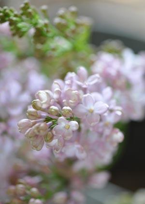 <h2><br/>房いっぱいに小さくてかわいらしいお花がたくさんついています。春のウェディングにぴったりの雰囲気です。どんなお花とも相性がよく、大変人気があります。</h2>