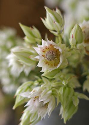 <h2><br/>白い花びらの中にほんのりピンクがかっている花の姿から、「頬を染めたお嫁さん」という別名がつけられています。オーストラリアから輸入されます。</h2>