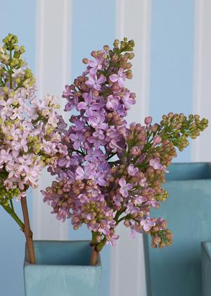 <h2><br/>房いっぱいにかわいらしい小花をつけるこの花は、春のウェディングにぴったりです。どんなお花とも相性がよく、大変人気があります。</h2>