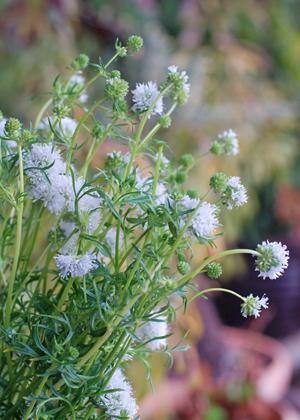 <h2><br/>小さなお花がたくさん集まって、可憐な花を咲かせます。薄紫のほかに白などもあります。春のガーデンパーティーに持つブーケに似合います。</h2>