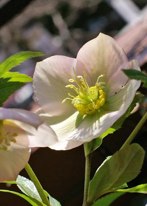 <h2><br/>うつむきがちに咲くひかえめな花ですが、寒さにも強くしっかりとしています。透明感のある美しく清楚なお花です。</h2>
