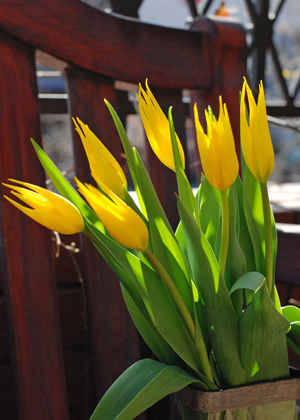 <h2><br/>ぱっと目を引く鮮やかな黄色のユリ咲きタイプのチューリップ。満開になると本物のユリのようにきれいに咲きます。</h2>
