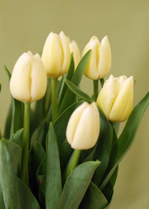 <h2><br/>優しいクリーム色の小さめのチューリップ。ナチュラルで可愛らしいウェディングブーケやアレンジにぴったりです。</h2>