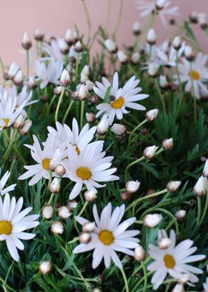 <h2><br/>ナチュラルなガーデンパーティーに持つブーケなどによく合います。清楚な一重咲きの白花がお馴染みですが他にもピンクや黄色があります。</h2>