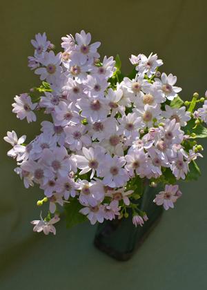 <h2><br/>春を彩る花のひとつで鉢物としてよく見かけます。メインの花に添えるかわいらしい小花として活躍できます。カラーバリエーションも豊富です。</h2>