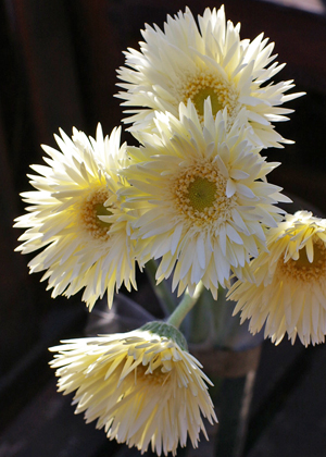 <h2><br/>細く繊細な花びらが特徴のガーベラ。原種に近い姿です。優しいベージュホワイトがウェディングシーンにもお似合いです。</h2>