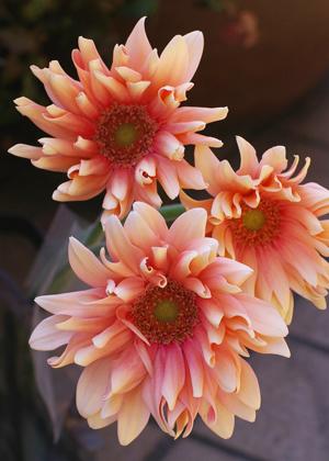 <h2><br/>インパクトのある大輪ガーベラ。ウェーブがかった花びらが特徴です。サーモンピンクとベージュの混ざった可愛らしい色合いです。</h2>