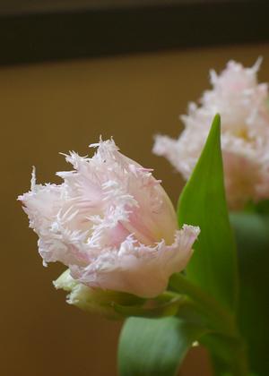 <h2><br/>やさしく淡いピンク色。ギザギザの切れ込みが入ったフリンジ咲きのチューリップです。春のウェディングにぴったりです。</h2>