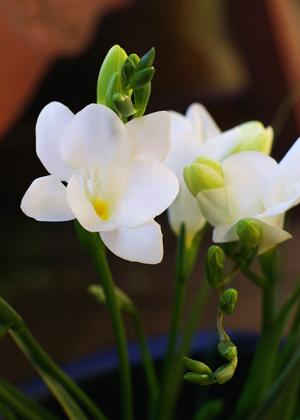 <h2><br/>とてもいい香りのする、春を代表するアヤメ科の花。他にも黄、ピンクなどがあります。花のかたちがかわいらしく、春のウェディングによく似合います。</h2>
