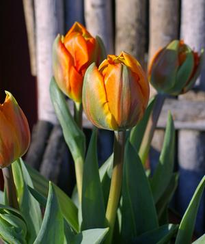 <h2><br/>オレンジの花びらにグリーンのラインが入る豪華な八重咲きのチューリップ。満開になるとまるで芍薬のように花びらが広がり、見事な姿になります。</h2>