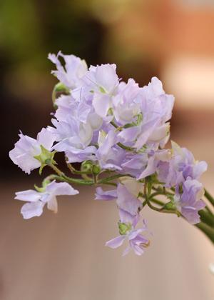 <h2><br/>定番のスィートピーに比べると花が小ぶりで繊細なイメージ。バラなどと合わせ可憐なブーケに仕上げます。</h2>