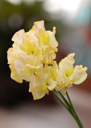 <h2><br/>ひらひらの柔らかい花びらが人気の、春を代表するお花。あまい香りがやさしさも演出してくれます。春のウェディングにおすすめです。</h2>