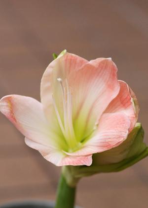 <h2><br/>大輪のお花を咲かせる球根花。花の形がたいへん美しく、見る人を引きつけます。ブーケやアレンジに入れるとインパクトがあり、より一層美しさが際立ちます。</h2>